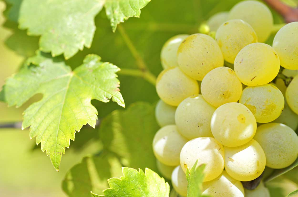 Chardonnay grapes in the sun