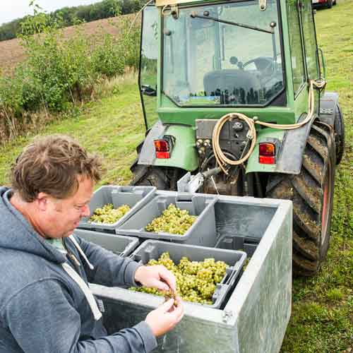 Andy inspects the First harvest Chardonnay grape 2015